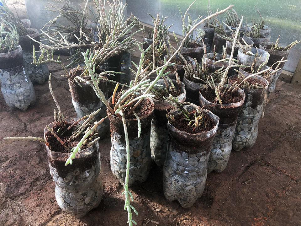 Preparing salicornia for water