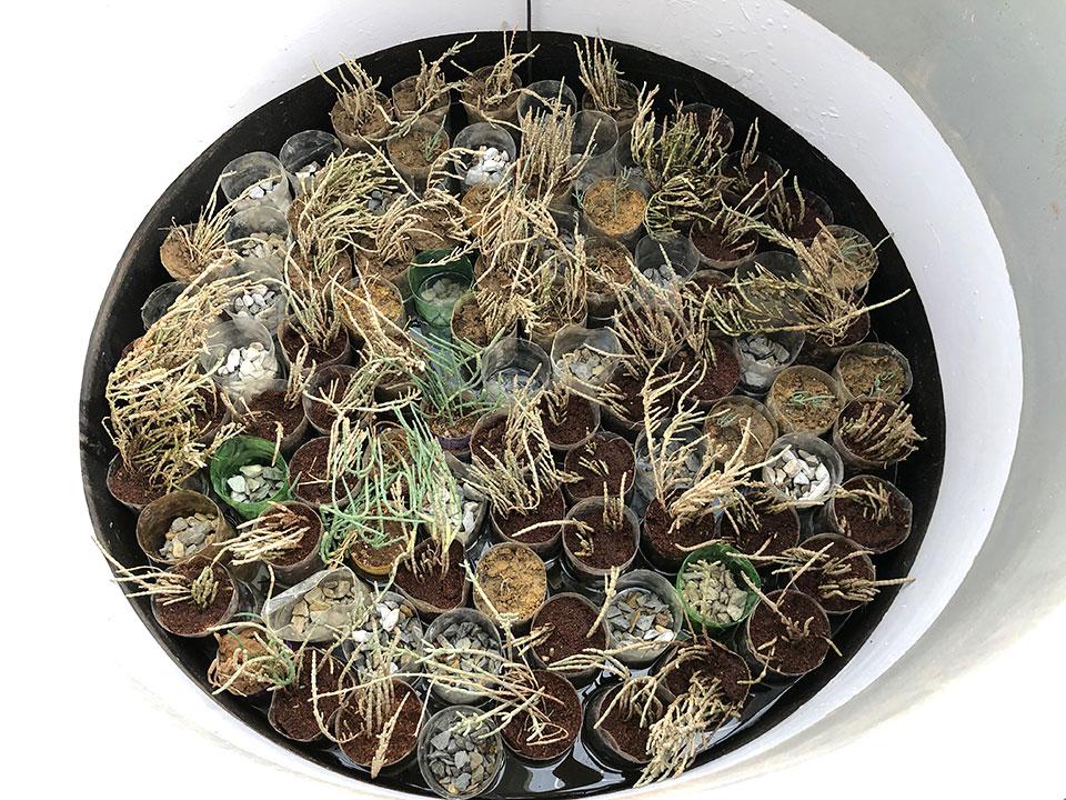 Salicornia in testing tank