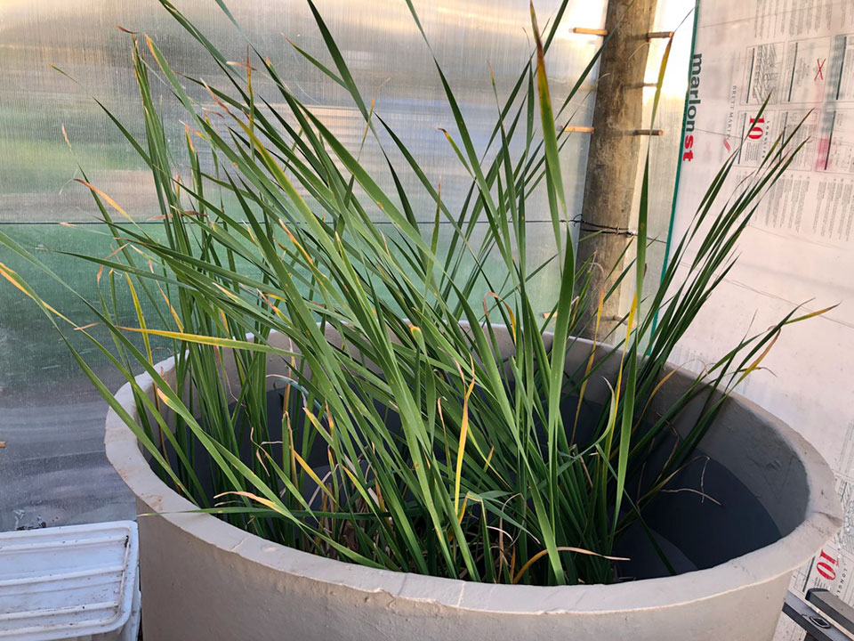 Typha in a testing tank